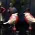 Đôi chim bá tước VT17